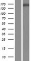 SNAPC4 Protein - Western validation with an anti-DDK antibody * L: Control HEK293 lysate R: Over-expression lysate