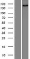 SNED1 Protein - Western validation with an anti-DDK antibody * L: Control HEK293 lysate R: Over-expression lysate