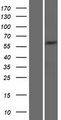 SNTG2 / SYN5 Protein - Western validation with an anti-DDK antibody * L: Control HEK293 lysate R: Over-expression lysate