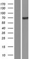SNX18 Protein - Western validation with an anti-DDK antibody * L: Control HEK293 lysate R: Over-expression lysate