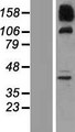 SNX19 Protein - Western validation with an anti-DDK antibody * L: Control HEK293 lysate R: Over-expression lysate