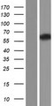 SPAM1 / PH20 Protein - Western validation with an anti-DDK antibody * L: Control HEK293 lysate R: Over-expression lysate