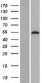 SPATA21 Protein - Western validation with an anti-DDK antibody * L: Control HEK293 lysate R: Over-expression lysate