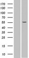 SPATA6 / SRF-1 Protein - Western validation with an anti-DDK antibody * L: Control HEK293 lysate R: Over-expression lysate