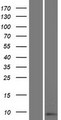 SPRR2D Protein - Western validation with an anti-DDK antibody * L: Control HEK293 lysate R: Over-expression lysate