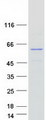 SPRYD3 Protein - Purified recombinant protein SPRYD3 was analyzed by SDS-PAGE gel and Coomassie Blue Staining