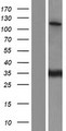 SR140 / U2SURP Protein - Western validation with an anti-DDK antibody * L: Control HEK293 lysate R: Over-expression lysate