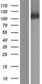 SRBD1 Protein - Western validation with an anti-DDK antibody * L: Control HEK293 lysate R: Over-expression lysate