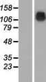 SRGAP1 Protein - Western validation with an anti-DDK antibody * L: Control HEK293 lysate R: Over-expression lysate