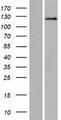 SRGAP2 Protein - Western validation with an anti-DDK antibody * L: Control HEK293 lysate R: Over-expression lysate
