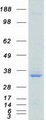 SRSF1 / SF2 Protein - Purified recombinant protein SRSF1 was analyzed by SDS-PAGE gel and Coomassie Blue Staining
