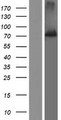 SSH1 Protein - Western validation with an anti-DDK antibody * L: Control HEK293 lysate R: Over-expression lysate