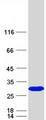 SSSCA1 / p27 Protein - Purified recombinant protein SSSCA1 was analyzed by SDS-PAGE gel and Coomassie Blue Staining