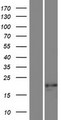 SSX7 Protein - Western validation with an anti-DDK antibody * L: Control HEK293 lysate R: Over-expression lysate