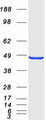 STAC Protein - Purified recombinant protein STAC was analyzed by SDS-PAGE gel and Coomassie Blue Staining