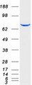 Purified recombinant protein STAT4 was analyzed by SDS-PAGE gel and Coomassie Blue Staining