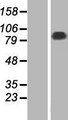 STRN3 Protein - Western validation with an anti-DDK antibody * L: Control HEK293 lysate R: Over-expression lysate