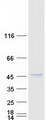 Purified recombinant protein SUMF1 was analyzed by SDS-PAGE gel and Coomassie Blue Staining