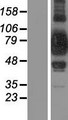 SUPV3L1 Protein - Western validation with an anti-DDK antibody * L: Control HEK293 lysate R: Over-expression lysate
