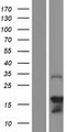SYCE3 Protein - Western validation with an anti-DDK antibody * L: Control HEK293 lysate R: Over-expression lysate