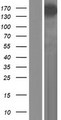 SYNPO2 / Synaptopodin 2 Protein - Western validation with an anti-DDK antibody * L: Control HEK293 lysate R: Over-expression lysate
