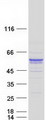 SYT13 Protein - Purified recombinant protein SYT13 was analyzed by SDS-PAGE gel and Coomassie Blue Staining