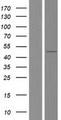 TAF7L Protein - Western validation with an anti-DDK antibody * L: Control HEK293 lysate R: Over-expression lysate