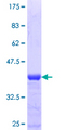 TAF7L Protein - 12.5% SDS-PAGE Stained with Coomassie Blue.