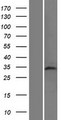 TAF8 Protein - Western validation with an anti-DDK antibody * L: Control HEK293 lysate R: Over-expression lysate