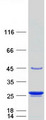 Purified recombinant protein TAGLN3 was analyzed by SDS-PAGE gel and Coomassie Blue Staining