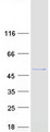 Purified recombinant protein LANCL2 was analyzed by SDS-PAGE gel and Coomassie Blue Staining