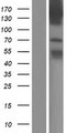 TBC1D9 Protein - Western validation with an anti-DDK antibody * L: Control HEK293 lysate R: Over-expression lysate