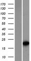 TCF15 / PARAXIS Protein - Western validation with an anti-DDK antibody * L: Control HEK293 lysate R: Over-expression lysate