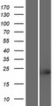 TCF23 Protein - Western validation with an anti-DDK antibody * L: Control HEK293 lysate R: Over-expression lysate
