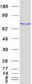 TCF25 Protein - Purified recombinant protein TCF25 was analyzed by SDS-PAGE gel and Coomassie Blue Staining