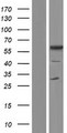 TCP11 Protein - Western validation with an anti-DDK antibody * L: Control HEK293 lysate R: Over-expression lysate