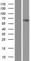 TDRKH Protein - Western validation with an anti-DDK antibody * L: Control HEK293 lysate R: Over-expression lysate