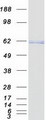 TERF2 / TRF2 Protein - Purified recombinant protein TERF2 was analyzed by SDS-PAGE gel and Coomassie Blue Staining