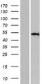 TFAP2D Protein - Western validation with an anti-DDK antibody * L: Control HEK293 lysate R: Over-expression lysate