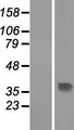 THAP10 Protein - Western validation with an anti-DDK antibody * L: Control HEK293 lysate R: Over-expression lysate
