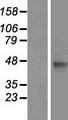 THEG Protein - Western validation with an anti-DDK antibody * L: Control HEK293 lysate R: Over-expression lysate
