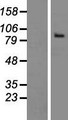 THSD1 / TMTSP Protein - Western validation with an anti-DDK antibody * L: Control HEK293 lysate R: Over-expression lysate
