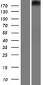 TJP1 / ZO-1 Protein - Western validation with an anti-DDK antibody * L: Control HEK293 lysate R: Over-expression lysate