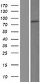 TLE3 Protein - Western validation with an anti-DDK antibody * L: Control HEK293 lysate R: Over-expression lysate