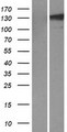 TLL1 Protein - Western validation with an anti-DDK antibody * L: Control HEK293 lysate R: Over-expression lysate