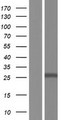 TMEM127 Protein - Western validation with an anti-DDK antibody * L: Control HEK293 lysate R: Over-expression lysate
