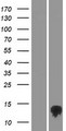 TMEM170B Protein - Western validation with an anti-DDK antibody * L: Control HEK293 lysate R: Over-expression lysate