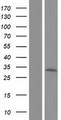 TMEM192 Protein - Western validation with an anti-DDK antibody * L: Control HEK293 lysate R: Over-expression lysate