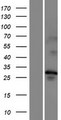 TMEM202 Protein - Western validation with an anti-DDK antibody * L: Control HEK293 lysate R: Over-expression lysate