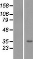TMEM206 Protein - Western validation with an anti-DDK antibody * L: Control HEK293 lysate R: Over-expression lysate
